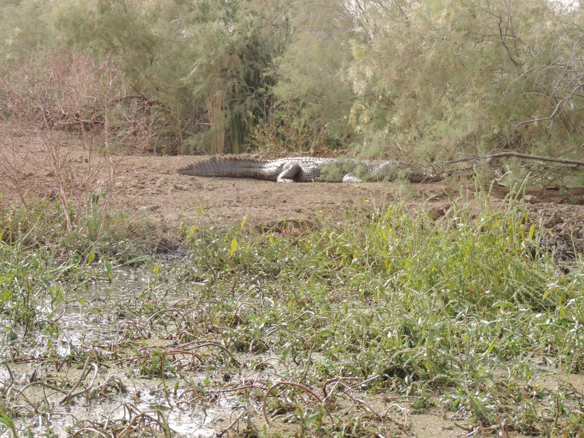 Crocodile du Doudj